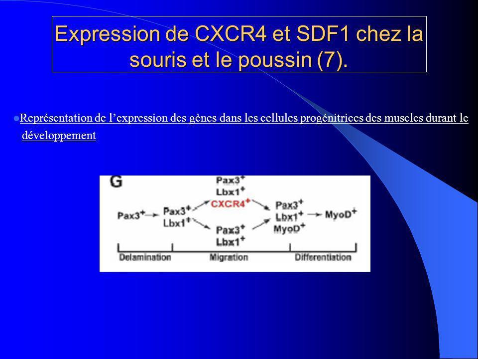 Expression de CXCR4 et SDF1 chez la souris et le poussin (7).