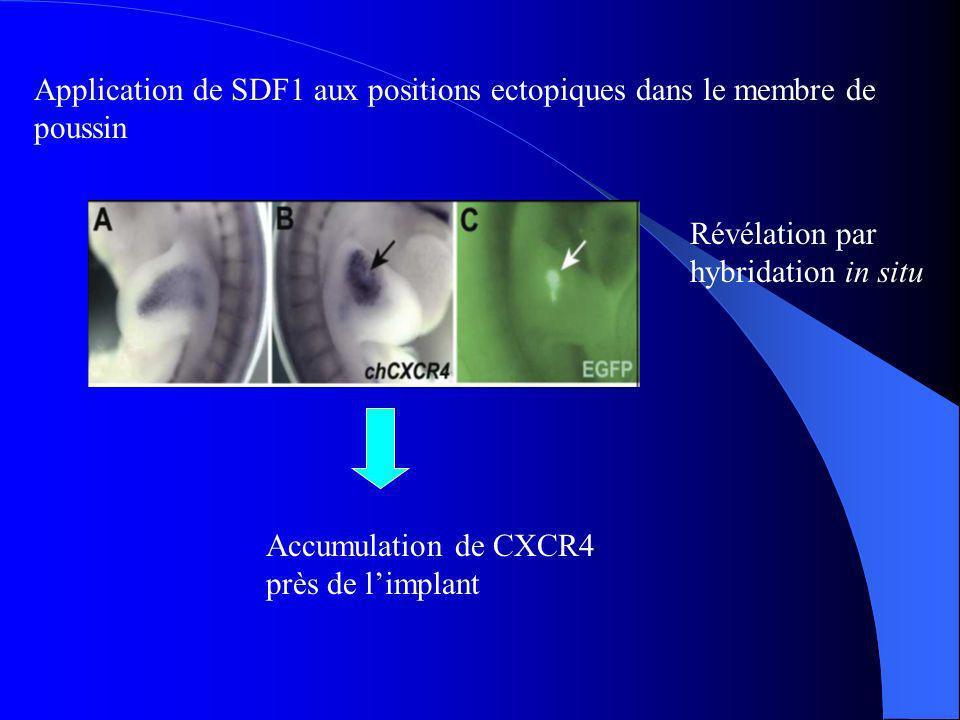 Accumulation de CXCR4 près de limplant Application de SDF1 aux positions ectopiques dans le membre de poussin Révélation par hybridation in situ