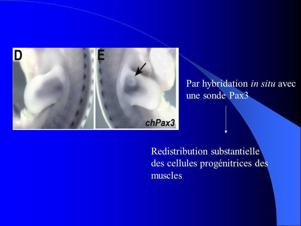 Redistribution plus prononcée de CXCR4 par rapport à Pax3 Certaines cellules de Pax3 nont pas répondu à SDF1 SDF1 attire les cellules CXCR4
