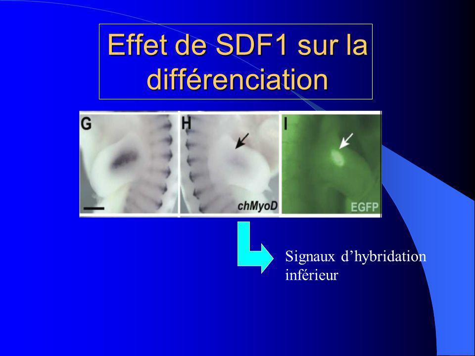 Effet de SDF1 sur la différenciation Signaux dhybridation inférieur