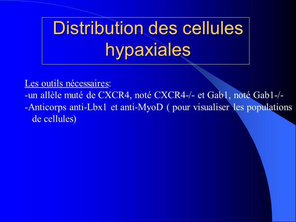Distribution des cellules hypaxiales Les outils nécessaires: -un allèle muté de CXCR4, noté CXCR4-/- et Gab1, noté Gab1-/- -Anticorps anti-Lbx1 et anti-MyoD ( pour visualiser les populations de cellules)