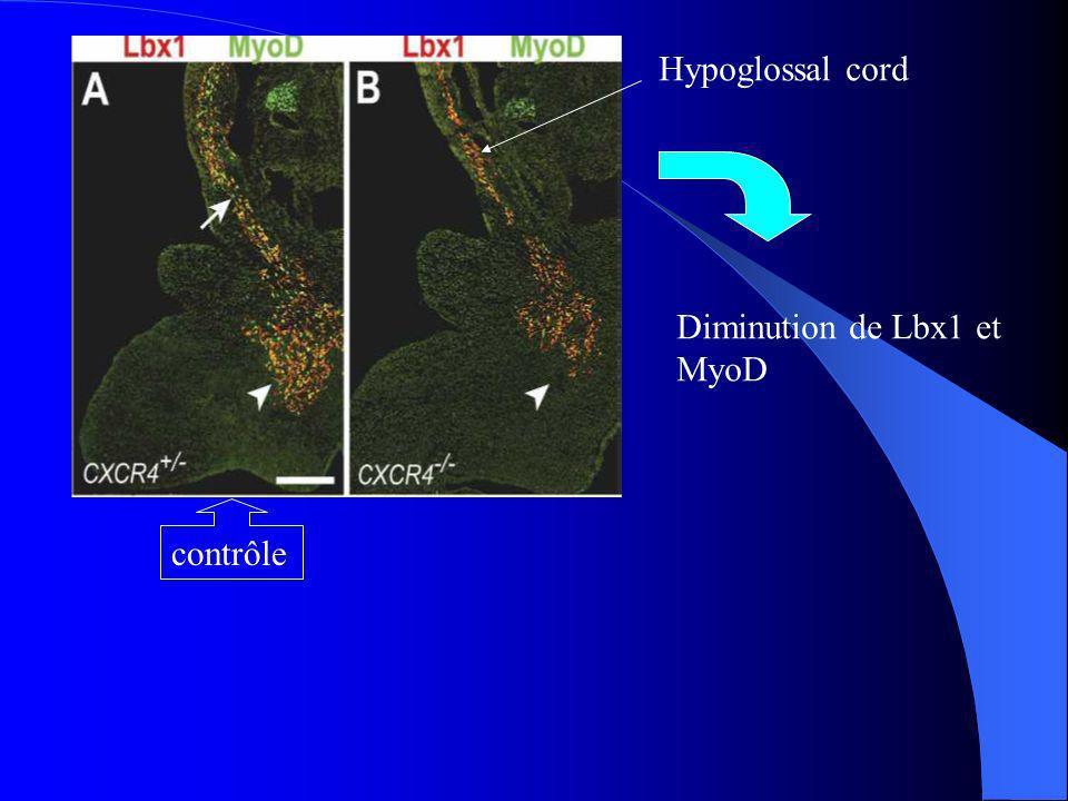Le nombre de Lbx1, MyoD est inférieur du contrôle Lbx1, MyoD ne sont pas discernable Dans les cellules doubles mutants, les cellules Lbx1 natteignent pas leur cibles