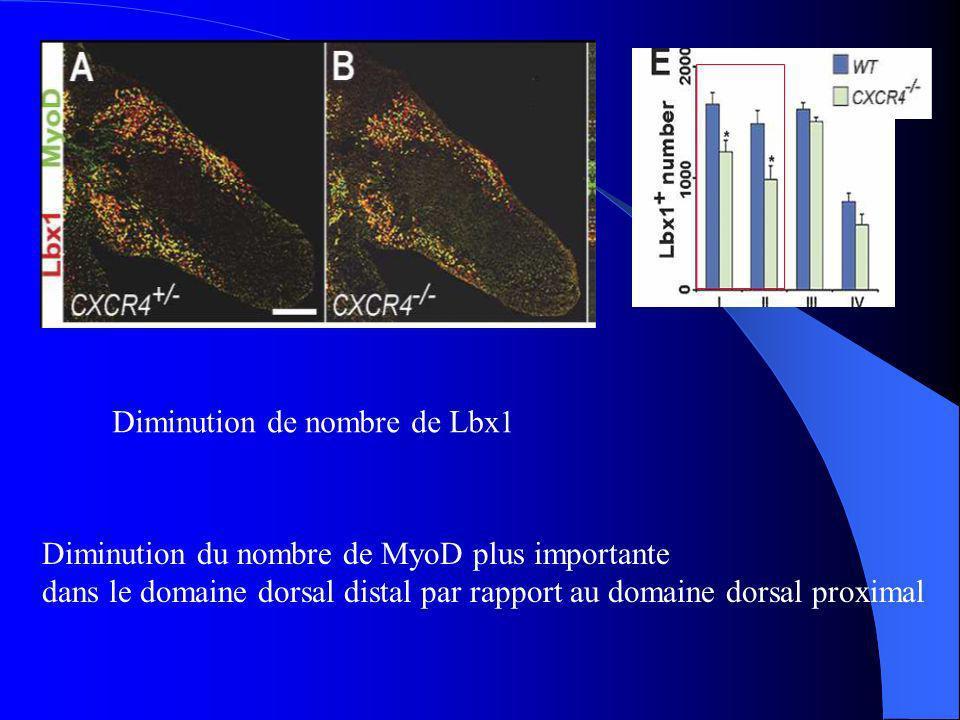 Ils ont compté tous les noyaux apoptotique Augmentation significative dapoptosis dans le domaine dorsal proximal dans les cellules mutants Les cellules progénitrices des muscles ne sont pas correctement distribuées et leur survie est altérée dans le domaine I dans les embryons mutés