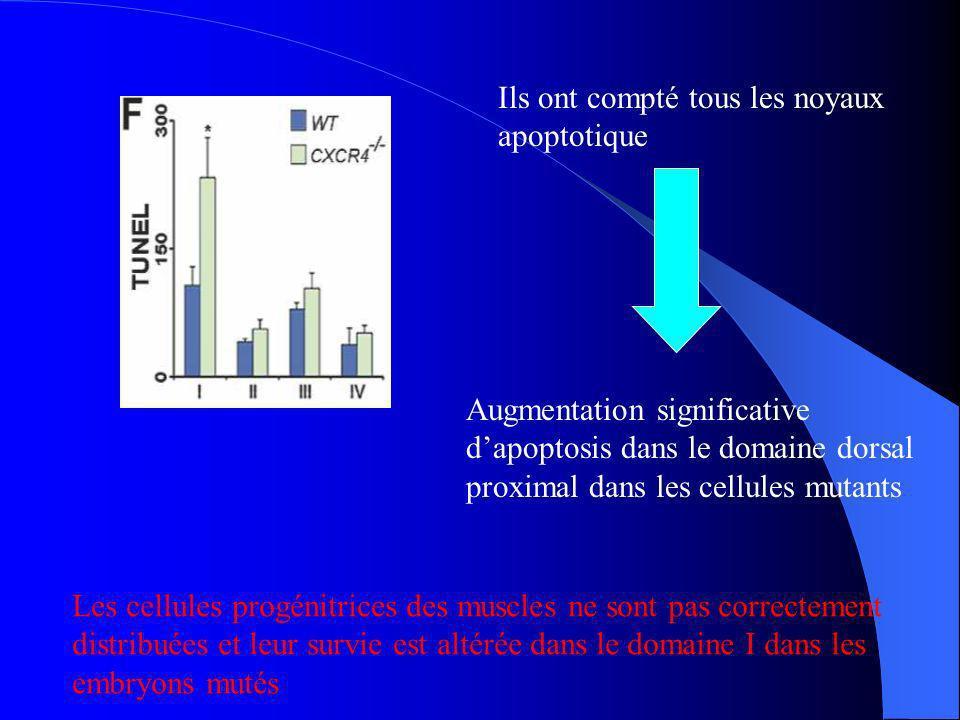 Analyse de leffet de CXCR4 mutant dans Gab1 Les cellules Lbx1 et de MyoD ont diminué