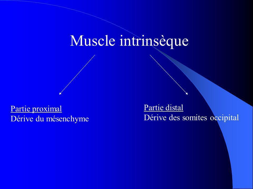 Muscle intrinsèque Partie proximal Dérive du mésenchyme Partie distal Dérive des somites occipital