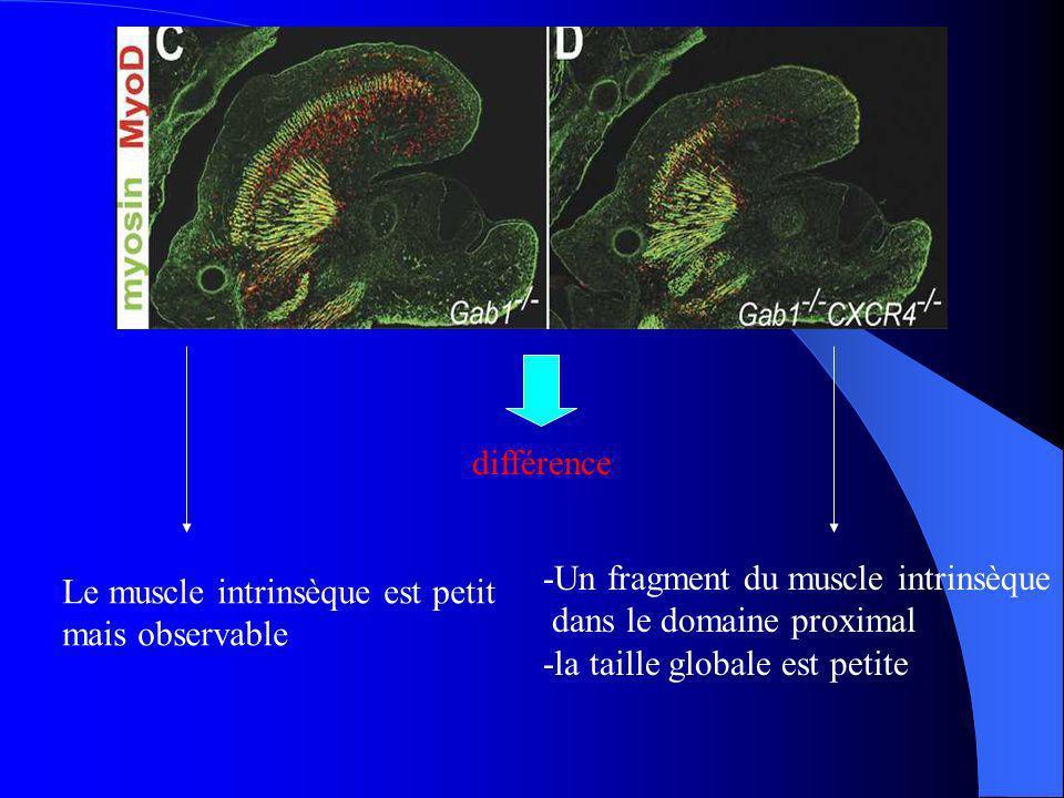 différence Le muscle intrinsèque est petit mais observable -Un fragment du muscle intrinsèque dans le domaine proximal -la taille globale est petite