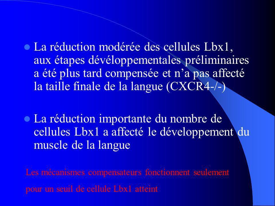 Discussion La protéine CXCR4 est présente après délamination du dermomyotome et elles sont observé une fois que les cellules ont atteint le membre antérieur Expression de CXCR4 est observé après lexpression de Pax3 et de Lbx1