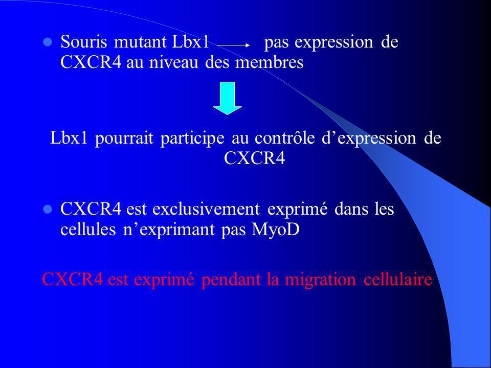 Souris mutant Lbx1 pas expression de CXCR4 au niveau des membres Lbx1 pourrait participe au contrôle dexpression de CXCR4 CXCR4 est exclusivement exprimé dans les cellules nexprimant pas MyoD CXCR4 est exprimé pendant la migration cellulaire