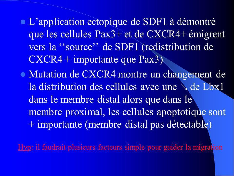 Lapplication ectopique de SDF1 à démontré que les cellules Pax3+ et de CXCR4+ émigrent vers la source de SDF1 (redistribution de CXCR4 + importante que Pax3) Mutation de CXCR4 montre un changement de la distribution des cellules avec une de Lbx1 dans le membre distal alors que dans le membre proximal, les cellules apoptotique sont + importante (membre distal pas détectable) Hyp: il faudrait plusieurs facteurs simple pour guider la migration