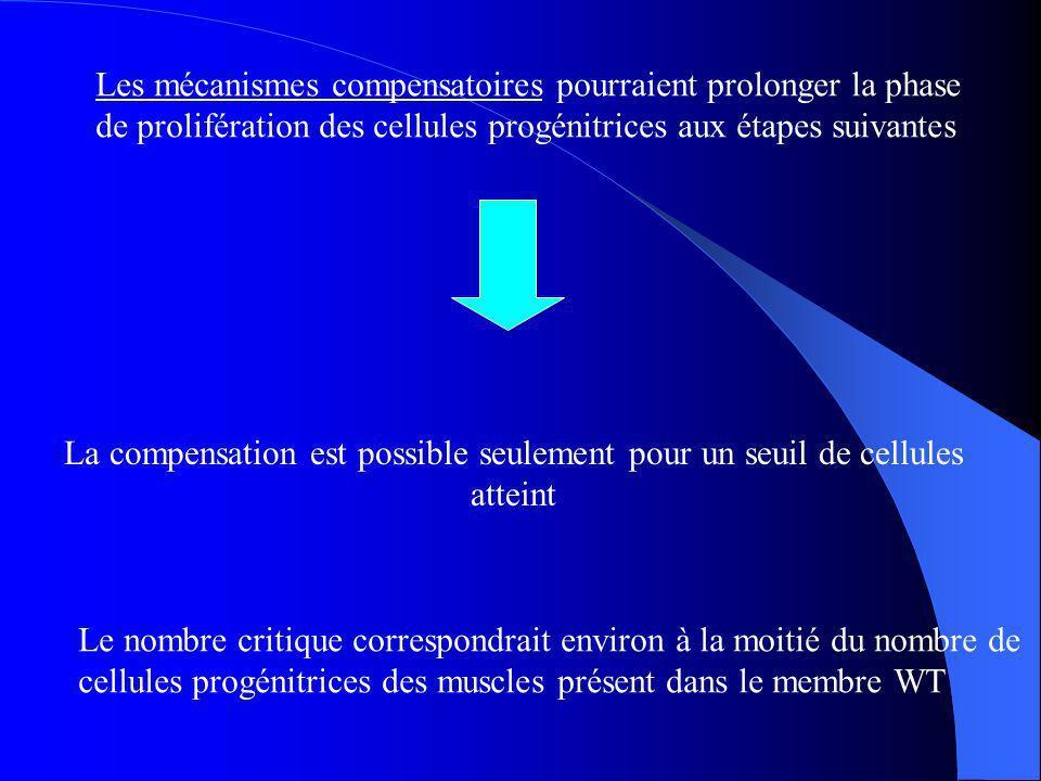 Les mécanismes compensatoires pourraient prolonger la phase de prolifération des cellules progénitrices aux étapes suivantes La compensation est possible seulement pour un seuil de cellules atteint Le nombre critique correspondrait environ à la moitié du nombre de cellules progénitrices des muscles présent dans le membre WT