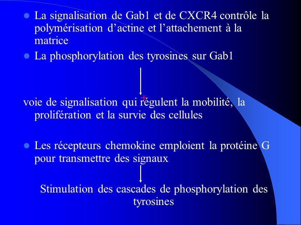 La signalisation de Gab1 et de CXCR4 contrôle la polymérisation dactine et lattachement à la matrice La phosphorylation des tyrosines sur Gab1 voie de signalisation qui régulent la mobilité, la prolifération et la survie des cellules Les récepteurs chemokine emploient la protéine G pour transmettre des signaux Stimulation des cascades de phosphorylation des tyrosines +