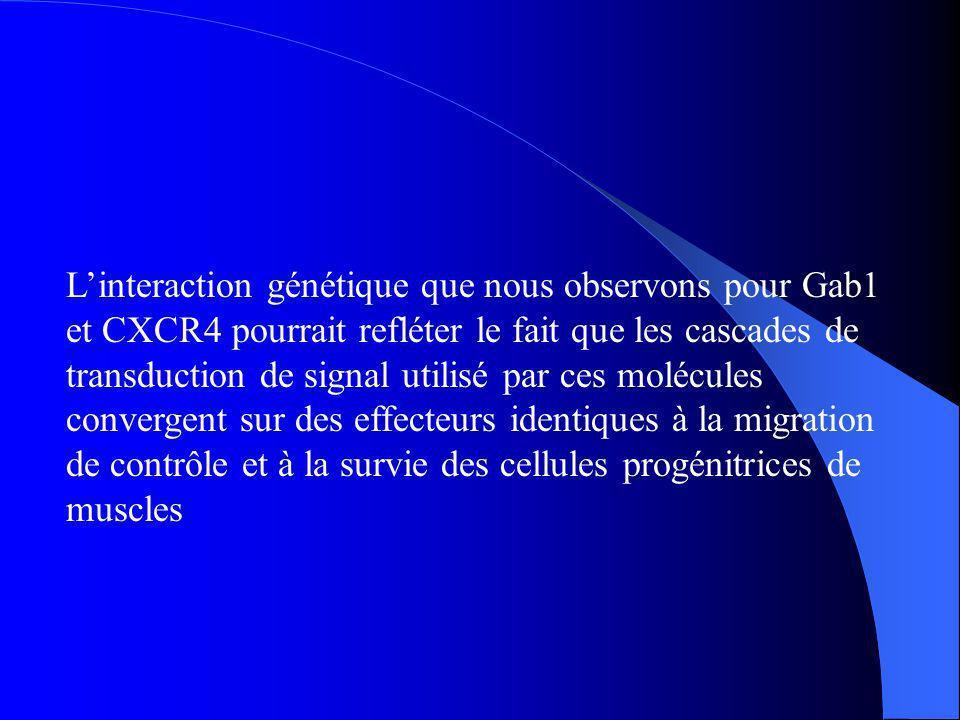 Linteraction génétique que nous observons pour Gab1 et CXCR4 pourrait refléter le fait que les cascades de transduction de signal utilisé par ces molé