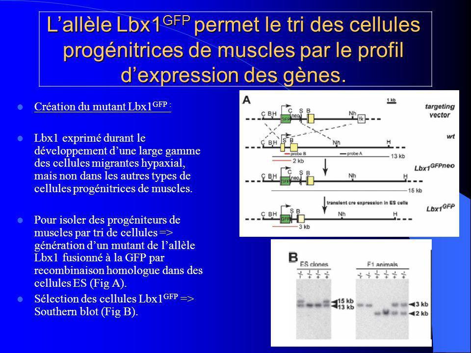 Lallèle Lbx1 GFP permet le tri des cellules progénitrices de muscles par le profil dexpression des gènes.