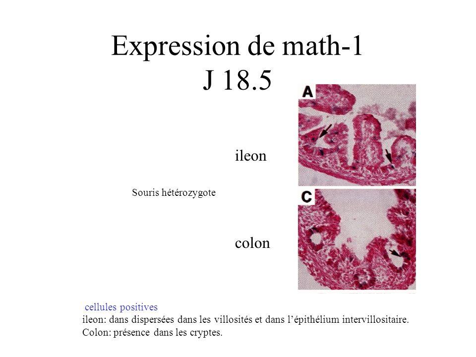 Expression de math-1 J 18.5 ileon colon cellules positives ileon: dans dispersées dans les villosités et dans lépithélium intervillositaire. Colon: pr