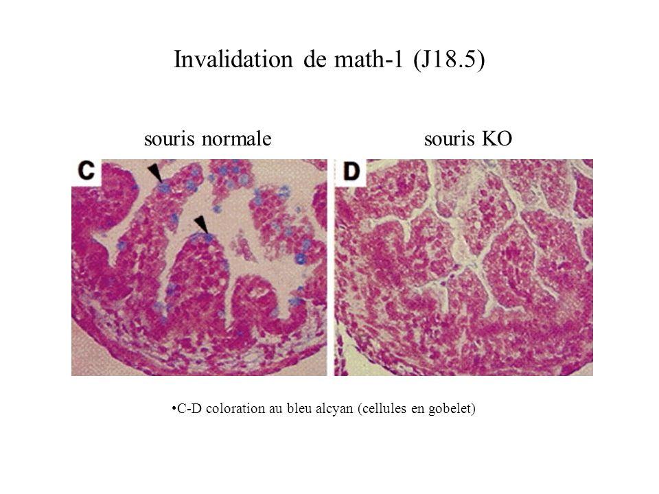 C-D coloration au bleu alcyan (cellules en gobelet) Invalidation de math-1 (J18.5) souris normalesouris KO