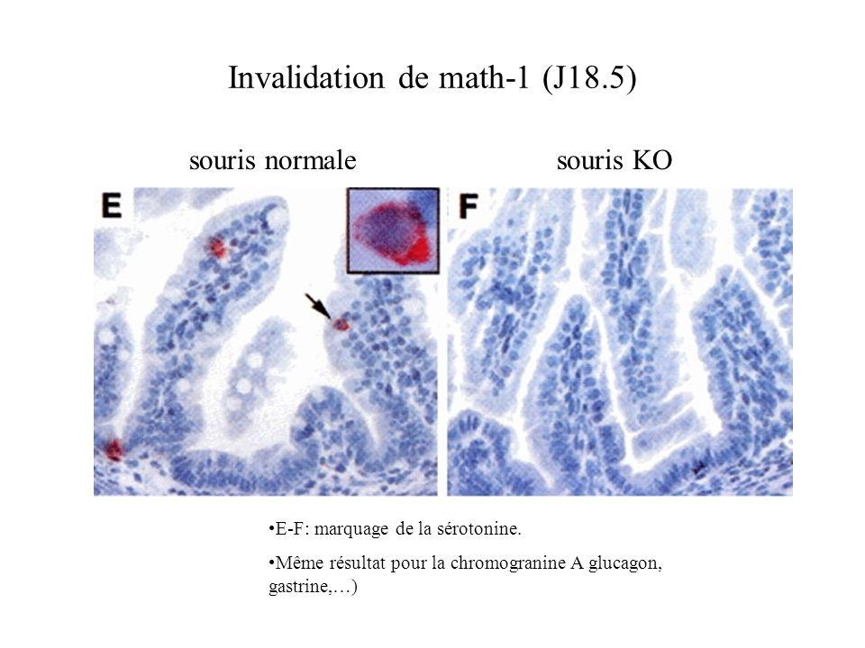 E-F: marquage de la sérotonine. Même résultat pour la chromogranine A glucagon, gastrine,…) Invalidation de math-1 (J18.5) souris normalesouris KO