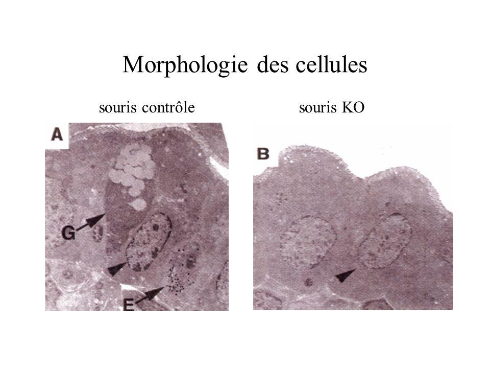 Morphologie des cellules souris contrôlesouris KO