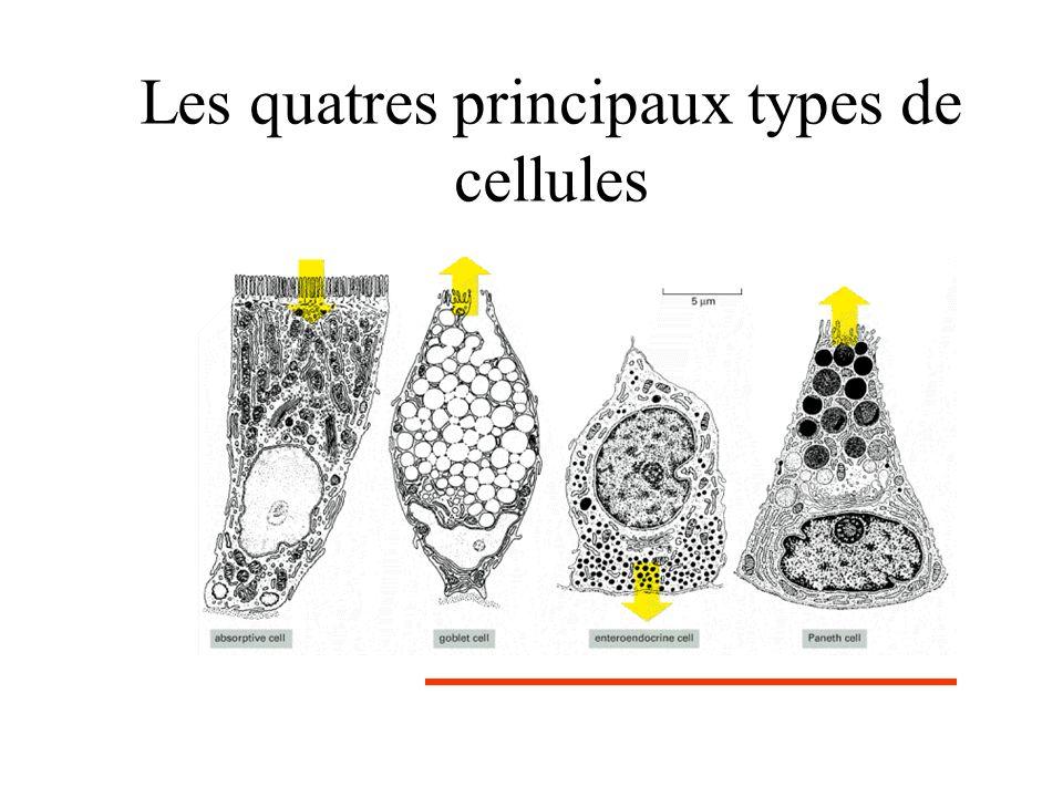 Invalidation de math-1 (J18.5) A et B : coloration eosine-hematoxyline souris normalesouris ko