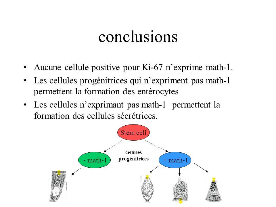 conclusions Aucune cellule positive pour Ki-67 nexprime math-1. Les cellules progénitrices qui nexpriment pas math-1 permettent la formation des entér