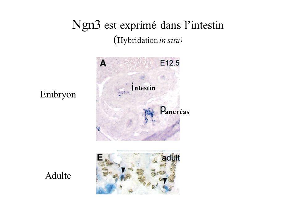 Ngn3 est exprimé dans lintestin ( Hybridation in situ) ntestin ancréas Embryon Adulte