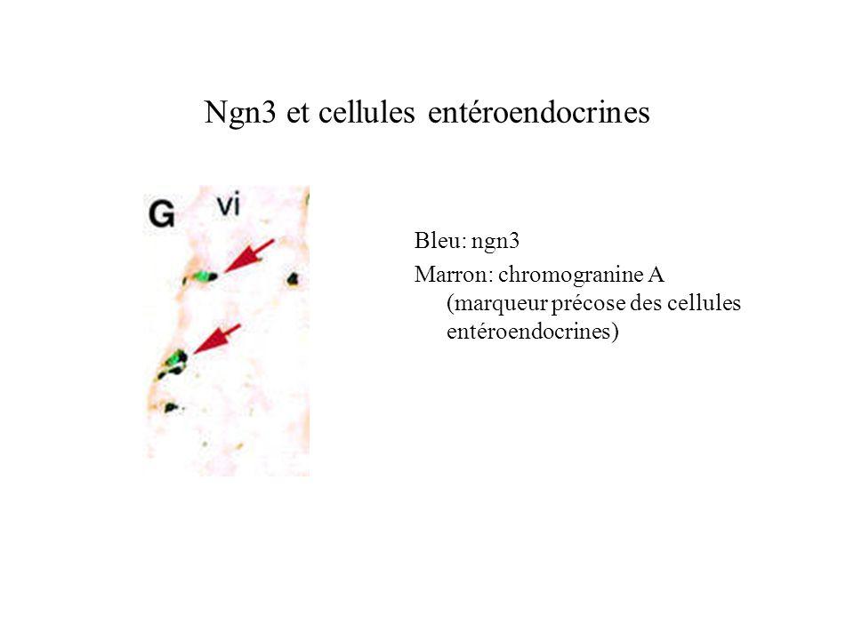 Ngn3 et cellules entéroendocrines Bleu: ngn3 Marron: chromogranine A (marqueur précose des cellules entéroendocrines)
