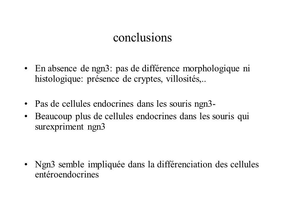 conclusions En absence de ngn3: pas de différence morphologique ni histologique: présence de cryptes, villosités,.. Pas de cellules endocrines dans le
