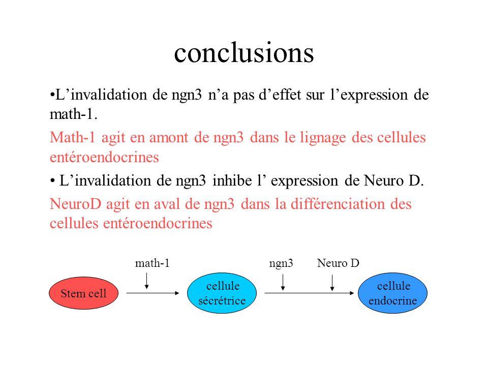 conclusions Linvalidation de ngn3 na pas deffet sur lexpression de math-1. Math-1 agit en amont de ngn3 dans le lignage des cellules entéroendocrines