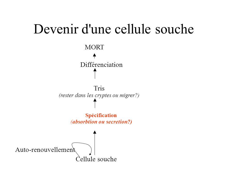 Devenir d'une cellule souche Auto-renouvellement Cellule souche Spécification (absorbtion ou secretion?) Tris (rester dans les cryptes ou migrer?) Dif