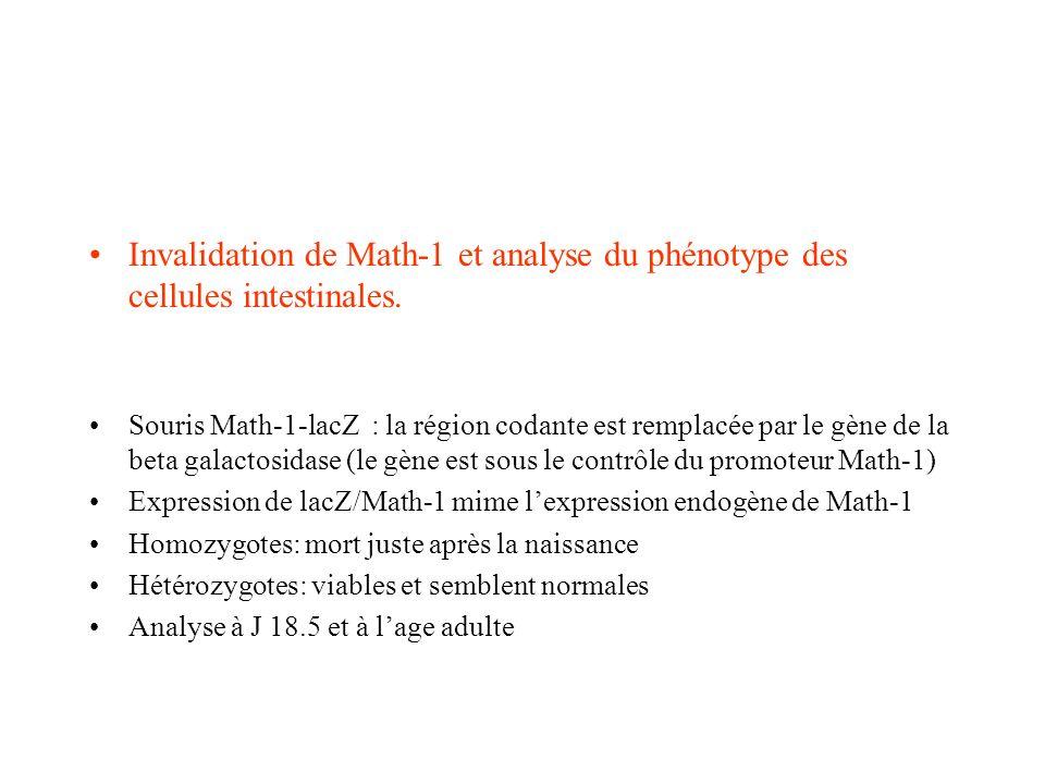 Invalidation de Math-1 et analyse du phénotype des cellules intestinales. Souris Math-1-lacZ : la région codante est remplacée par le gène de la beta