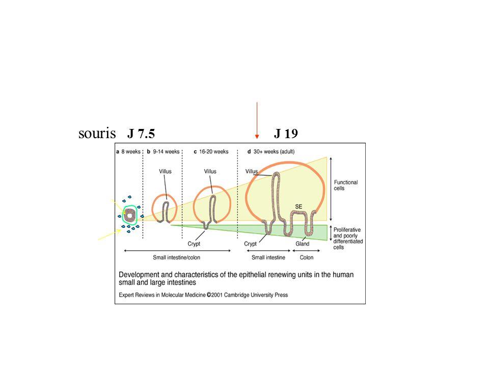 Localisation: math-1 (X-gal) Ki-67 (index de prolifération) duodenum Math-1 et prolifération cellulaire (souris hétérozygotes) Cellules de Paneth