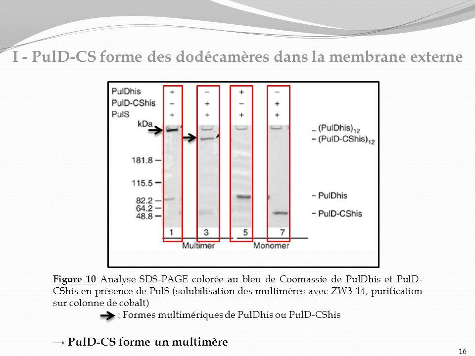 Figure 10 Analyse SDS-PAGE colorée au bleu de Coomassie de PulDhis et PulD- CShis en présence de PulS (solubilisation des multimères avec ZW3-14, puri