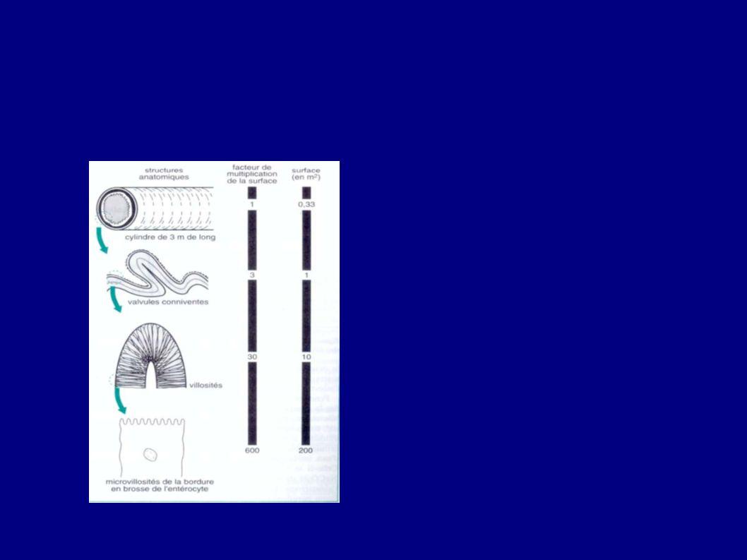 Structure de l'intestin les microvillosités