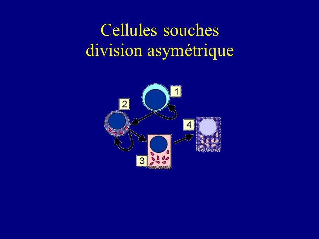 Devenir d'une cellule souche Auto-renouvellement Prolifération Spécification (absorbtion ou secretion?) Tris (rester dans les cryptes ou migrer?) Diff
