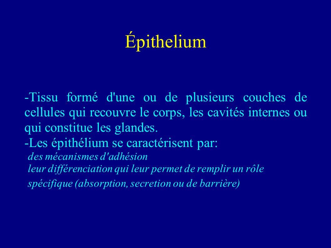 Rôle des isoformes de laminine dans la différenciation des cellules epithéliales intestinales Frédéric André, mai 2005 frederic.andre@pharmacie.univ-m