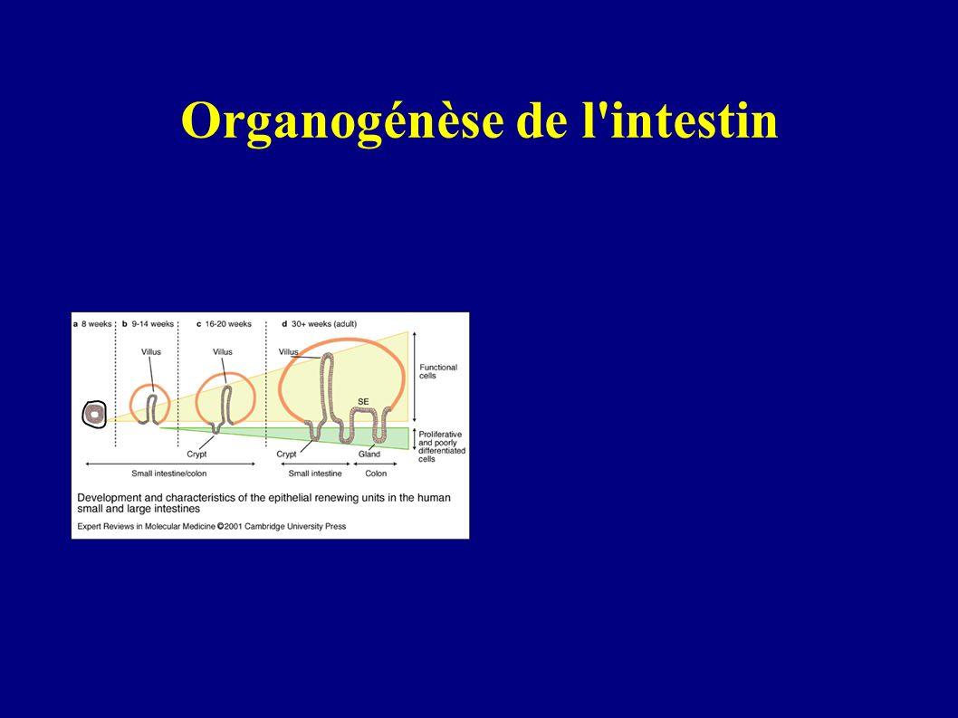 Pourquoi l'intestin pour modele? Différenciation au cours de l'organogénèse Differenciation chez l'adulte le long de l'axe crypte-villosité