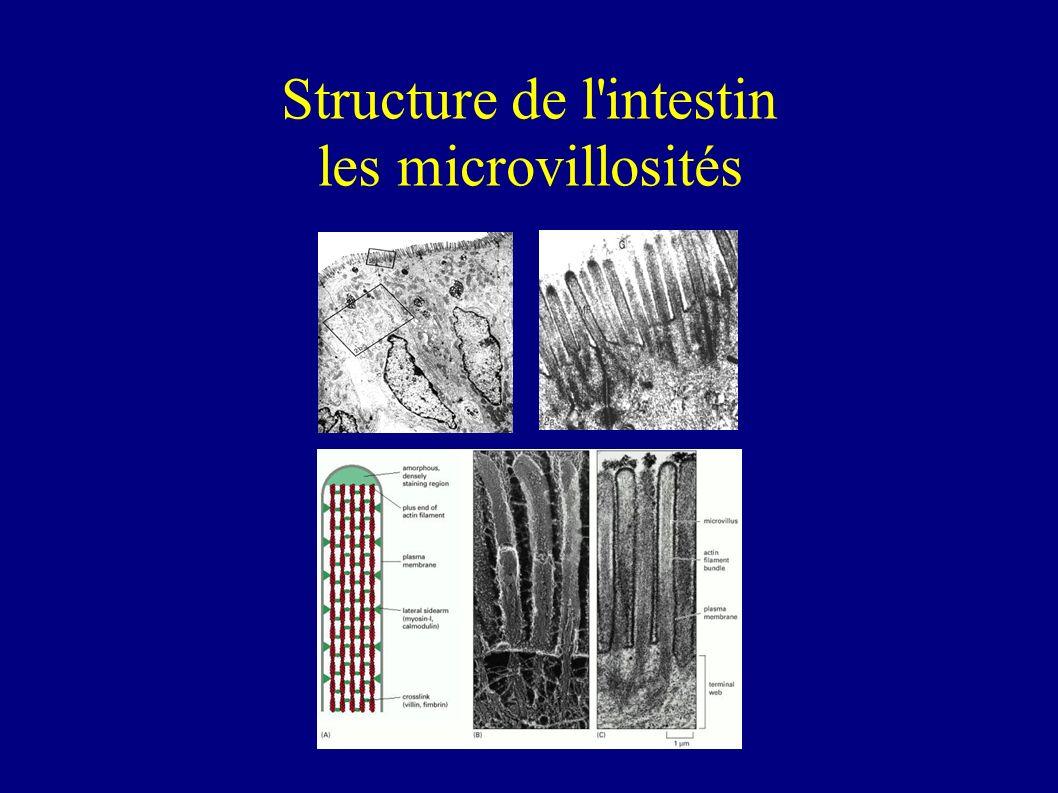 Structure de l'intestin les villosités