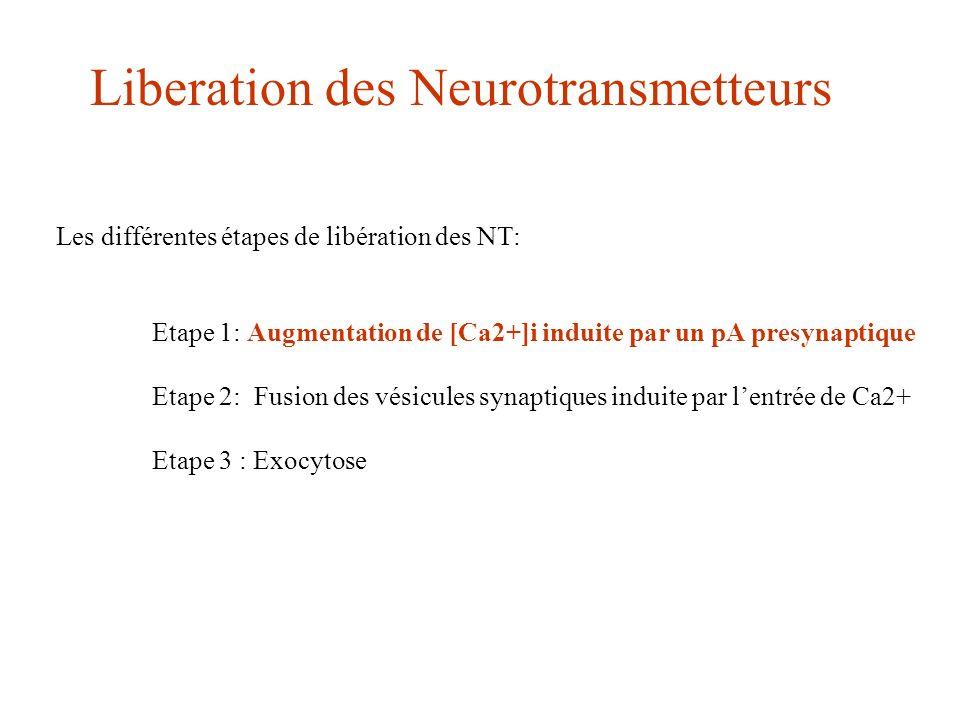 Les différentes étapes de libération des NT: Etape 1: Augmentation de [Ca2+]i induite par un pA presynaptique Etape 2: Fusion des vésicules synaptique