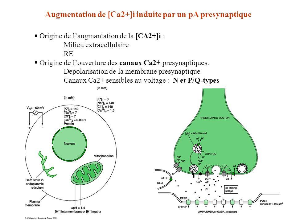 Origine de laugmantation de la [CA2+]i : Milieu extracellulaire RE Origine de louverture des canaux Ca2+ presynaptiques: Depolarisation de la membrane