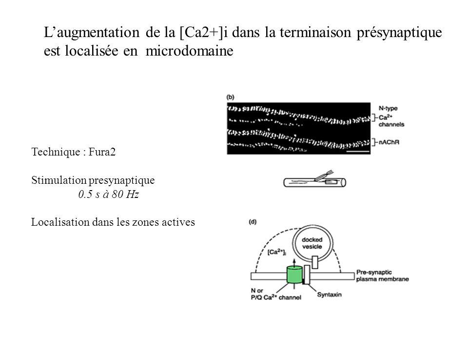 Laugmentation de la [Ca2+]i dans la terminaison présynaptique est localisée en microdomaine Technique : Fura2 Stimulation presynaptique 0.5 s à 80 Hz