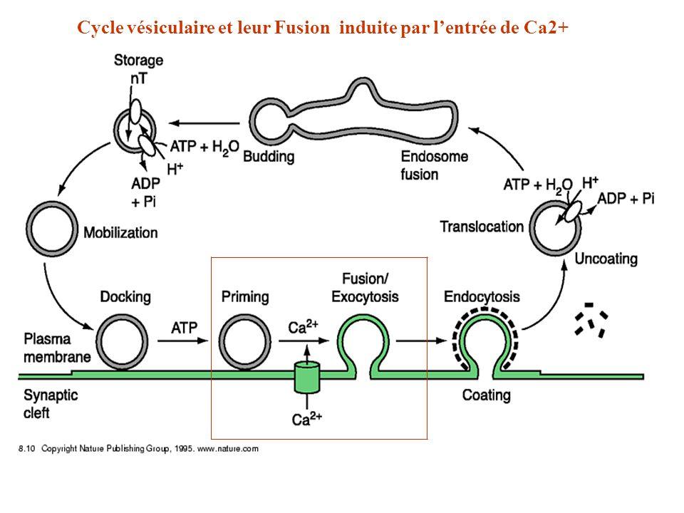 Cycle vésiculaire et leur Fusion induite par lentrée de Ca2+