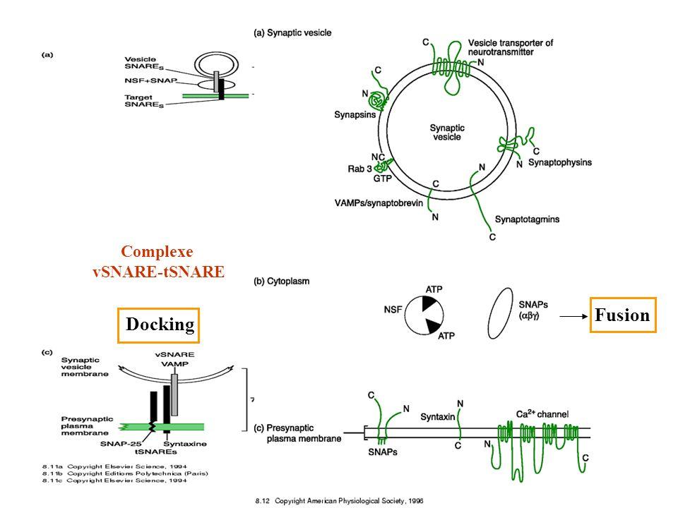 Complexe vSNARE-tSNARE Docking Fusion