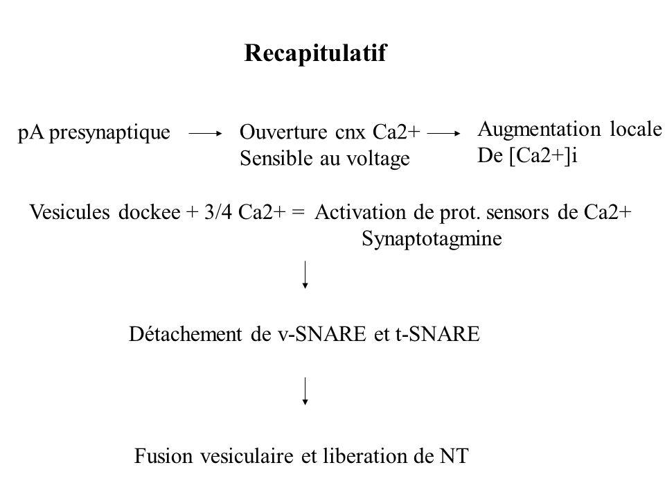 Recapitulatif pA presynaptiqueOuverture cnx Ca2+ Sensible au voltage Augmentation locale De [Ca2+]i Vesicules dockee + 3/4 Ca2+ = Activation de prot.