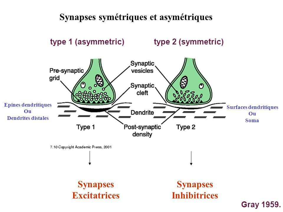Synapses symétriques et asymétriques type 1 (asymmetric)type 2 (symmetric) Gray 1959. Epines dendritiques Ou Dendrites distales Surfaces dendritiques