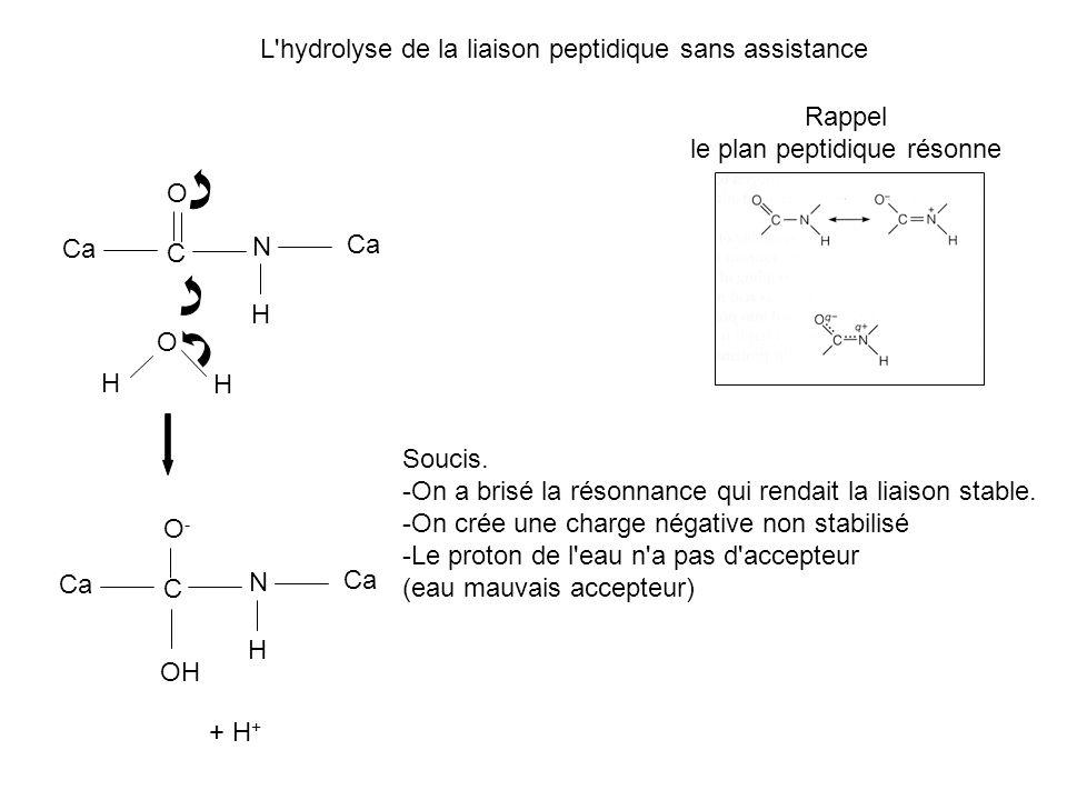 L'hydrolyse de la liaison peptidique sans assistance Ca C O N H Rappel le plan peptidique résonne O H H Ca C O-O- N H OH + H + Soucis. -On a brisé la