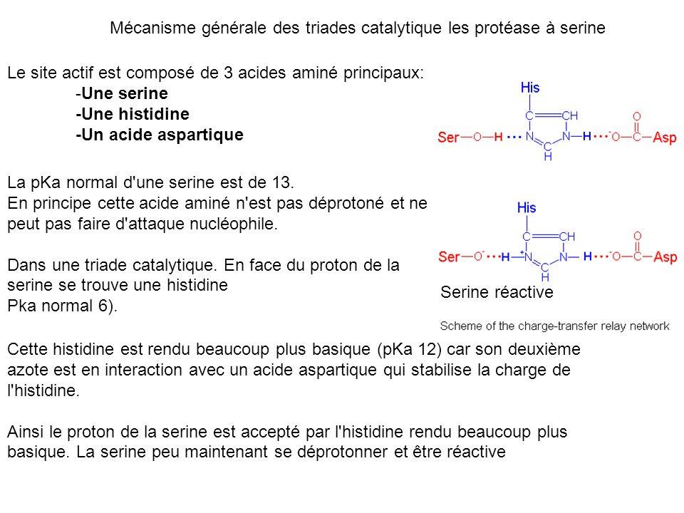 Mécanisme générale des triades catalytique les protéase à serine Le site actif est composé de 3 acides aminé principaux: -Une serine -Une histidine -U
