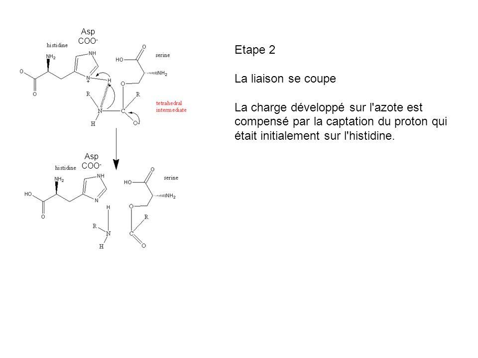 Etape 2 La liaison se coupe La charge développé sur l'azote est compensé par la captation du proton qui était initialement sur l'histidine. Asp COO -