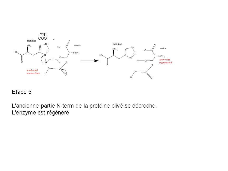 Asp COO - Etape 5 L'ancienne partie N-term de la protéine clivé se décroche. L'enzyme est régénéré