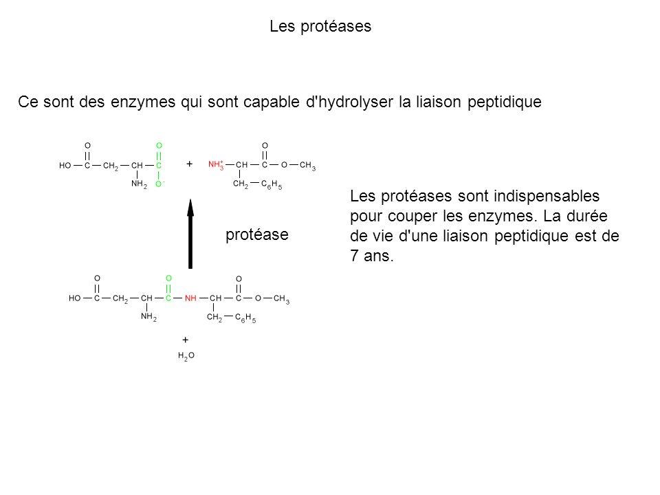Les protéases Ce sont des enzymes qui sont capable d'hydrolyser la liaison peptidique protéase Les protéases sont indispensables pour couper les enzym