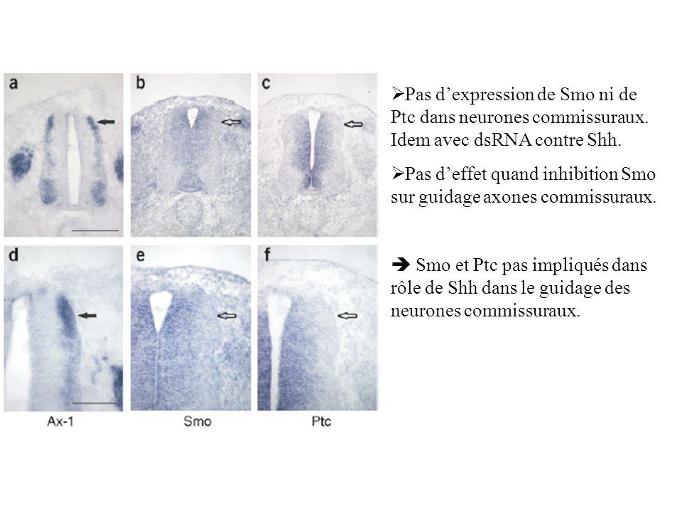 Pas dexpression de Smo ni de Ptc dans neurones commissuraux. Idem avec dsRNA contre Shh. Pas deffet quand inhibition Smo sur guidage axones commissura