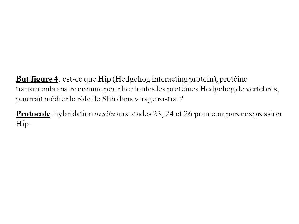 But figure 4: est-ce que Hip (Hedgehog interacting protein), protéine transmembranaire connue pour lier toutes les protéines Hedgehog de vertébrés, pourrait médier le rôle de Shh dans virage rostral.